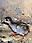 Guinea Fowl Chick