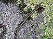 Eastern Garter Snake, Ontario, Canada