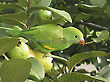 Parakeet and Guavas