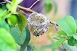 Pitiguari nest
