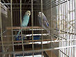 Budgerigars in a cage