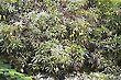 Mangoes Tree