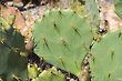 Prickly Pear Cacti Thorns