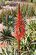 Babosa Aloe Vera Flower