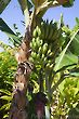 Banana Hanging Cluster (Stem)